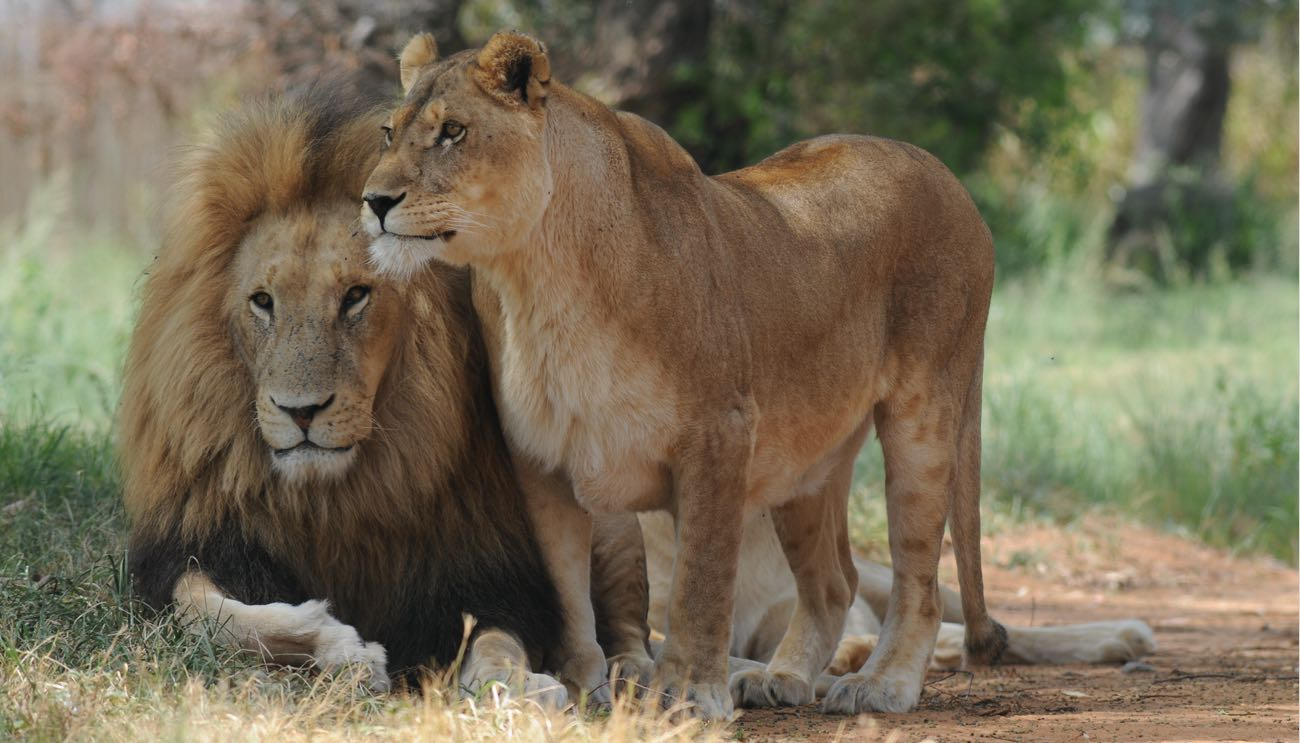 lions-africa